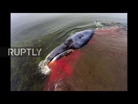 Russia: Injured baby whale loses blood after being stranded in Sea of Okhotsk *STILLS*