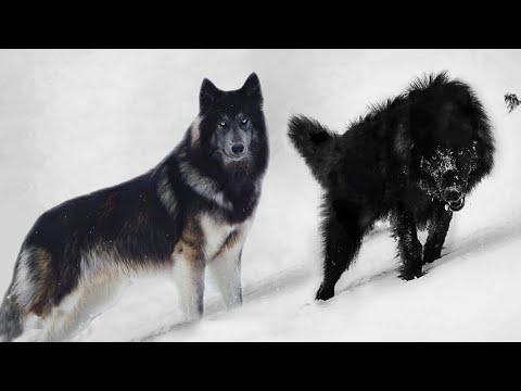 These 10 Dogs Look Really Like Wolves