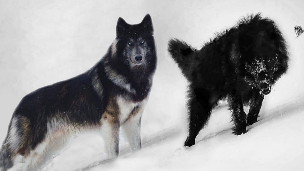 These 10 Dogs Look Really Like Wolves - YouTube