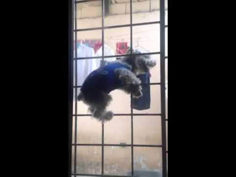 Perro Spiderman dog blooper