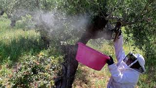 Μάνη - Συλλογή σμήνους μελισσών