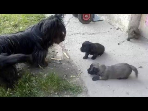 Skye Terrier puppies 2016/05/07 part I.