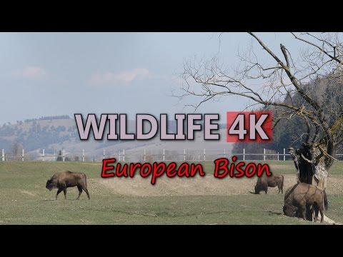 Ultra HD 4K Wildlife European Bison Wild Animals Europe Tourism Travel in Nature Video Stock Footage