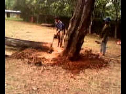 tebang pohon di sevilla school