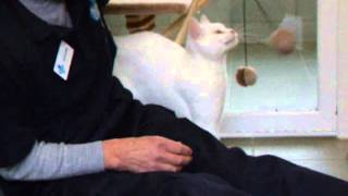 Pearl the cat is available for rehoming from the blue Cross in Lewknor