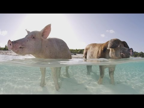 Thumbnail: Autopsy Shows What Killed Some Of The Bahamas' Famous Swimming Pigs