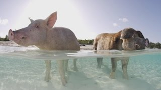 Autopsy Shows What Killed Some Of The Bahamas' Famous Swimming Pigs