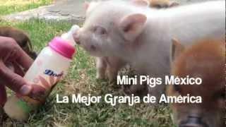 Mini Pigs México