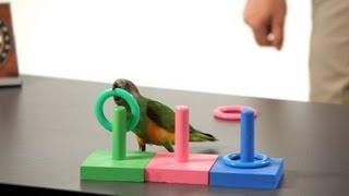 How to Teach a Parrot to Play Ring Toss | Parrot Training