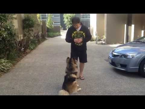 Heisenberg Finnish Lapphund Dog home puppy training at 6 months old