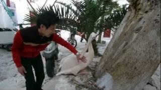【捕食】ペリカンに食べられるヒト
