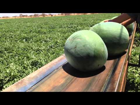 Ali Curung melon harvest November 2014