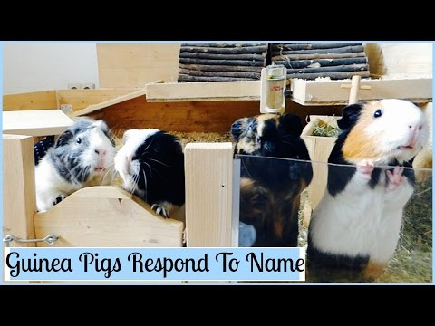 How to Teach Your Guinea Pigs Their Name