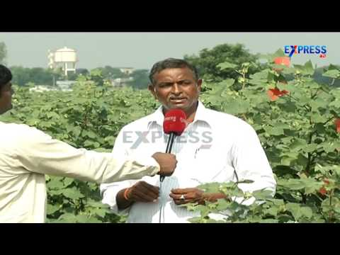 Good results in Hybrid Cotton seed production by using Crude oils S Bapuji Prakasam Dist