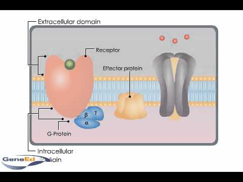 G-protein coupled receptors.flv