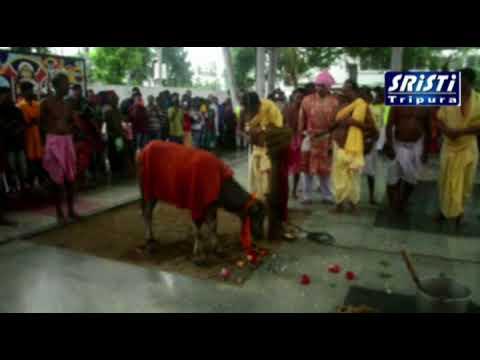 Download Live video of Buffalo sacri in Agartala Duragabari on Maha Nabami   2017