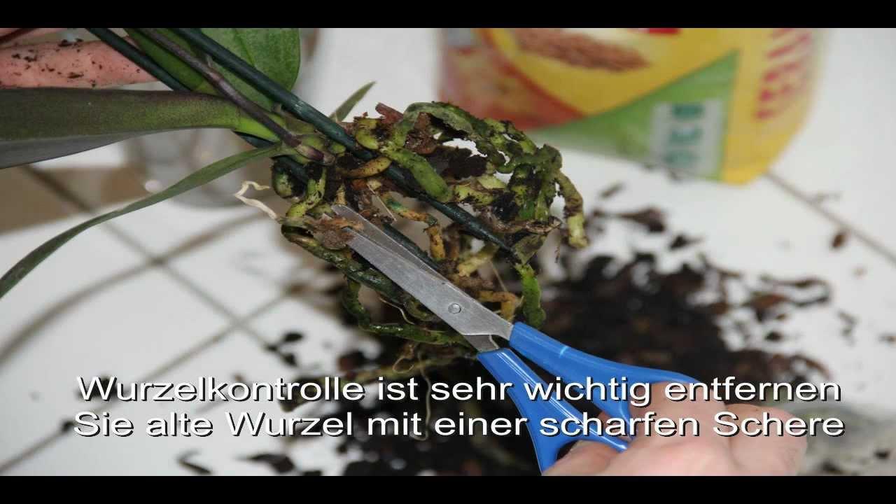 orchidee umtopfen in ein glas youtube. Black Bedroom Furniture Sets. Home Design Ideas