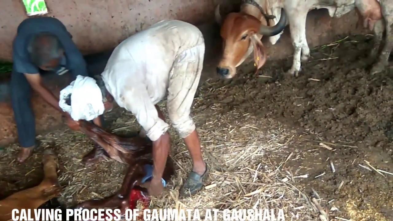 gaushala semen conservation The state government of madhya pradesh has set up a bull and semen bank center at jabalpur under its livestock department, providing the semen of graded bulls of gir, malvi, tharparkar, haryana and sahiwal breeds.