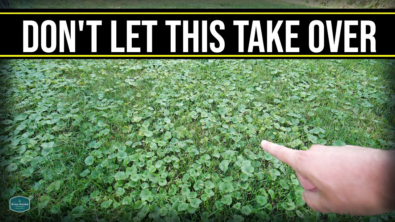This Will Take Over Your Lawn!! // Get Rid Of Creeping Charlie, Ground Ivy, Wild Violet
