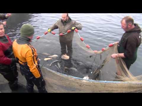 Premium Carp Fishing - Netting A Stock Pond