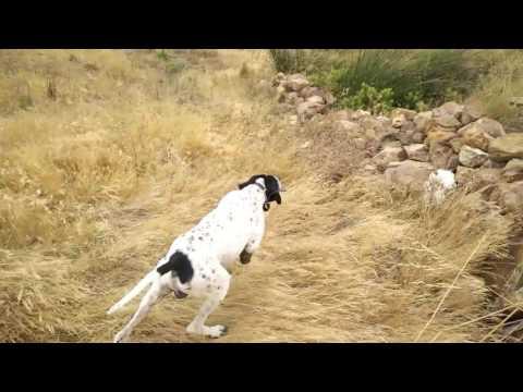 Perro de caza (pointers)
