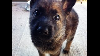 9 Week Old German Shepherd Puppy Playing With Border Collie/lab Mix
