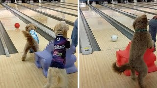 Playful Dogs Love Going Bowling