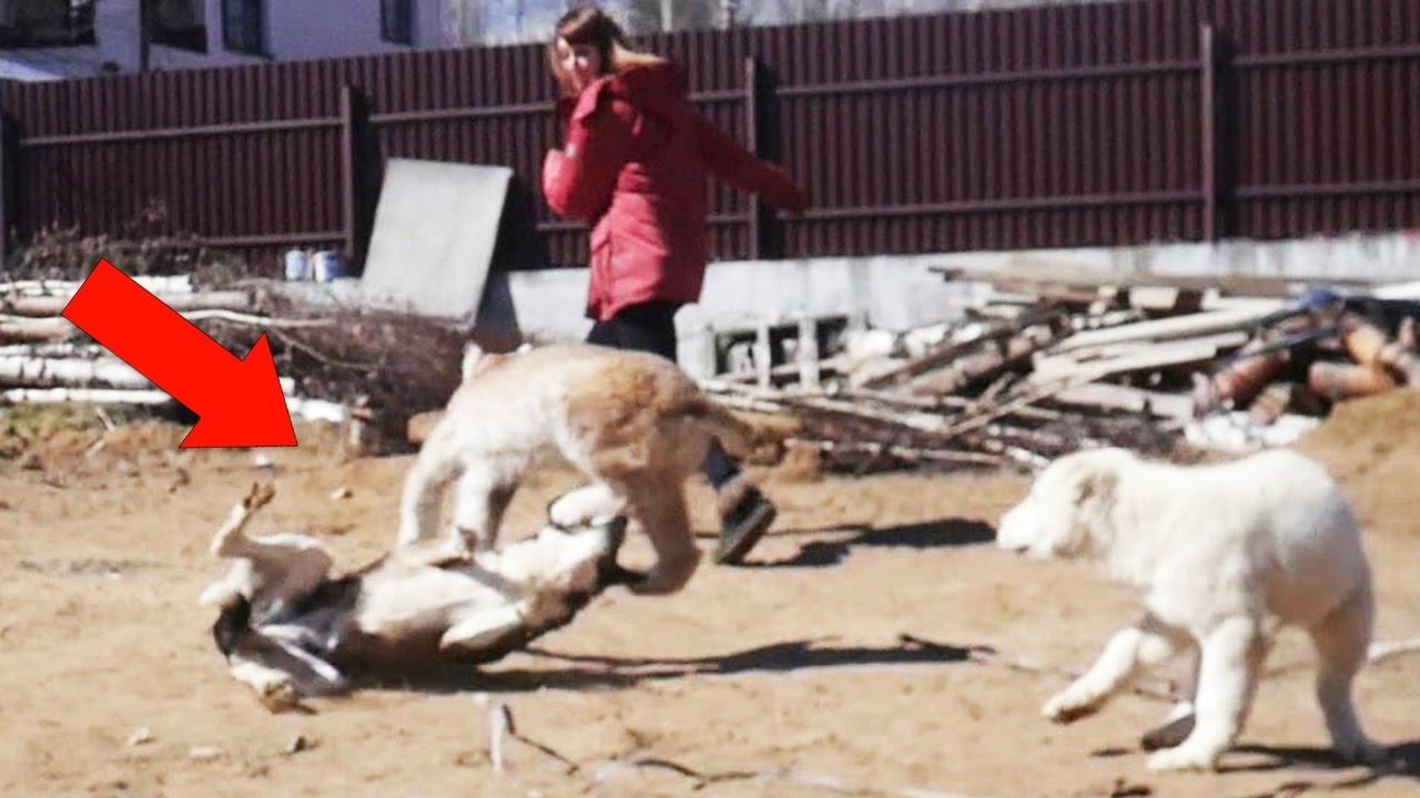 Рысь сбила собаку Маню / Wildcat LYNX hit down a dog