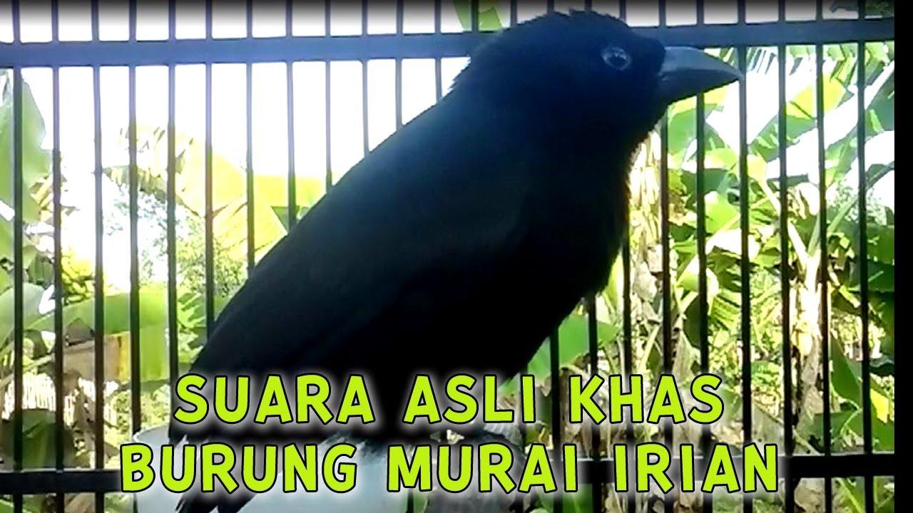 Suara Asli Khas Burung Murai Irian Seot Genteot Deot Pasti Langsung Nyaut Cocok Untuk Masteran Youtube