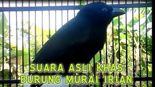 Download Mp3 SUARA ASLI KHAS BURUNG MURAI IRIAN SEOT GENTEOT DEOT PASTI LANGSUNG NYAUT COCOK UNTUK MASTERAN