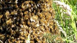 Bees Building A Hive