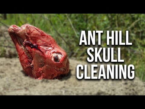 Ant Hill Skull Cleaning (Does it work?!)