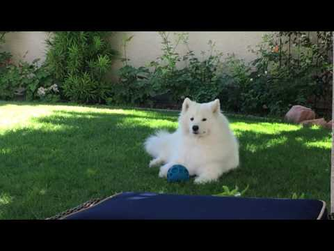 Dolce-- a fun-loving, happy Samoyed