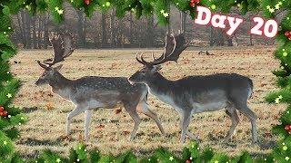 RICHMOND PARK WILD DEER!!   VLOGMAS DAY 20 - CHRIS & EVE