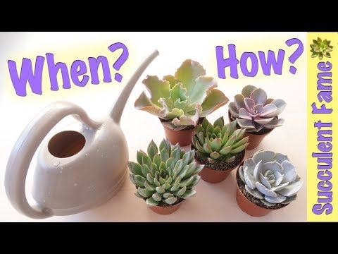 How Often To Water Succulents To Avoid Over Or Underwatering