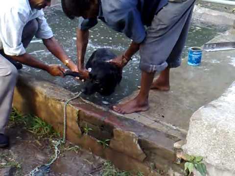 Dogs bathing at Malkhet 2009