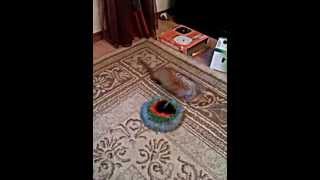 Siberian weasel - Honey & mouse