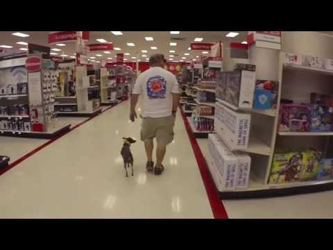 7 Month Old American Hairless 'Treya' | Port Saint Lucie Dog Trainers | Obedience | Off Leash K9