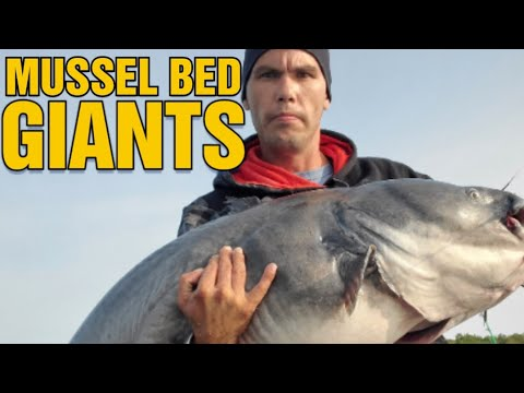 CATCHING GIANT CATFISH ON MUSSEL BEDS