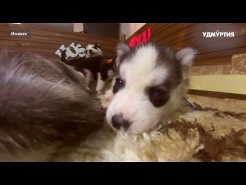 Ижевские щенки хаски - герои онлайн-трансляции