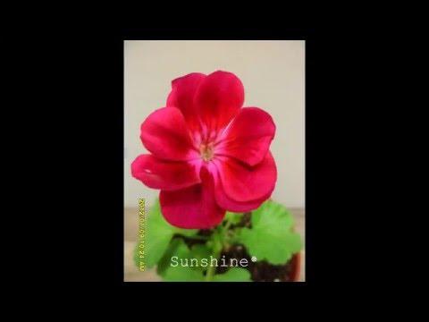 Pelargonium Flower Fairy Velvet