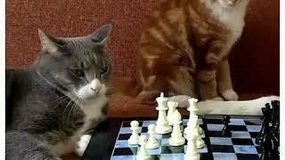 Джентльмены удачи (коты)