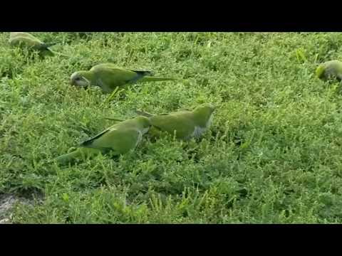Wild Quaker Parrots in St. Petersburg, Florida