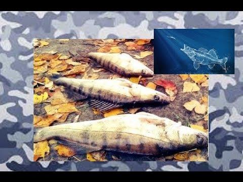 Ловля судака осенью на джиг