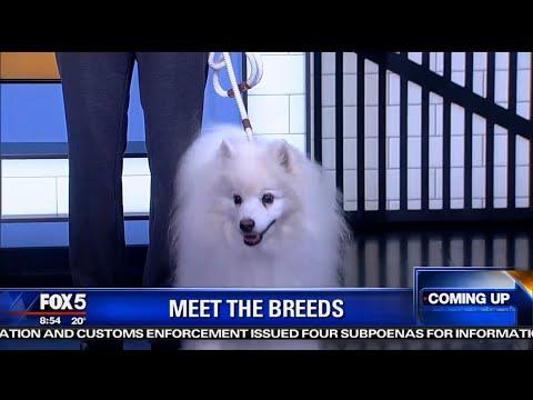 American Eskimo Dog,