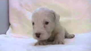 シーリハムテリアの子犬.