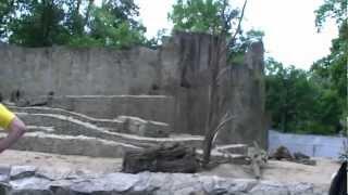 Wrocław Zoo, Poland. Yellow baboons / Pawiany masajskie