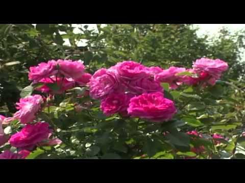 Томаты Розовая мечта Подробное описание, фото