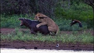 カバ対ライオンズ - 血に飢えたライバル カバ対ライオンズ - 血に飢えた...