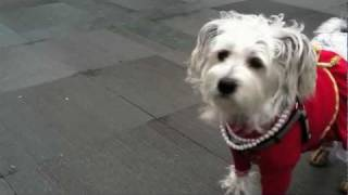 Shanghai Fashionista Dogs Strut Their Pearls For New Year's Lantern Festival Thumbnail